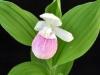 cypripedium_reginae
