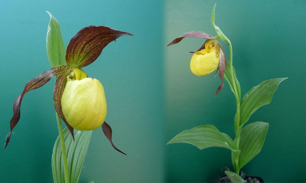 freilandorchideen gartenorchideen sonnen frauenschuh. Black Bedroom Furniture Sets. Home Design Ideas