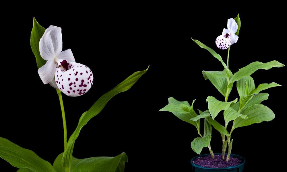 freilandorchideen gartenorchideen p nktchen frauenschuh. Black Bedroom Furniture Sets. Home Design Ideas